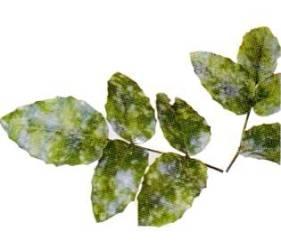 ficus paraziták a leveleken fotó